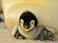 pingvin fázik